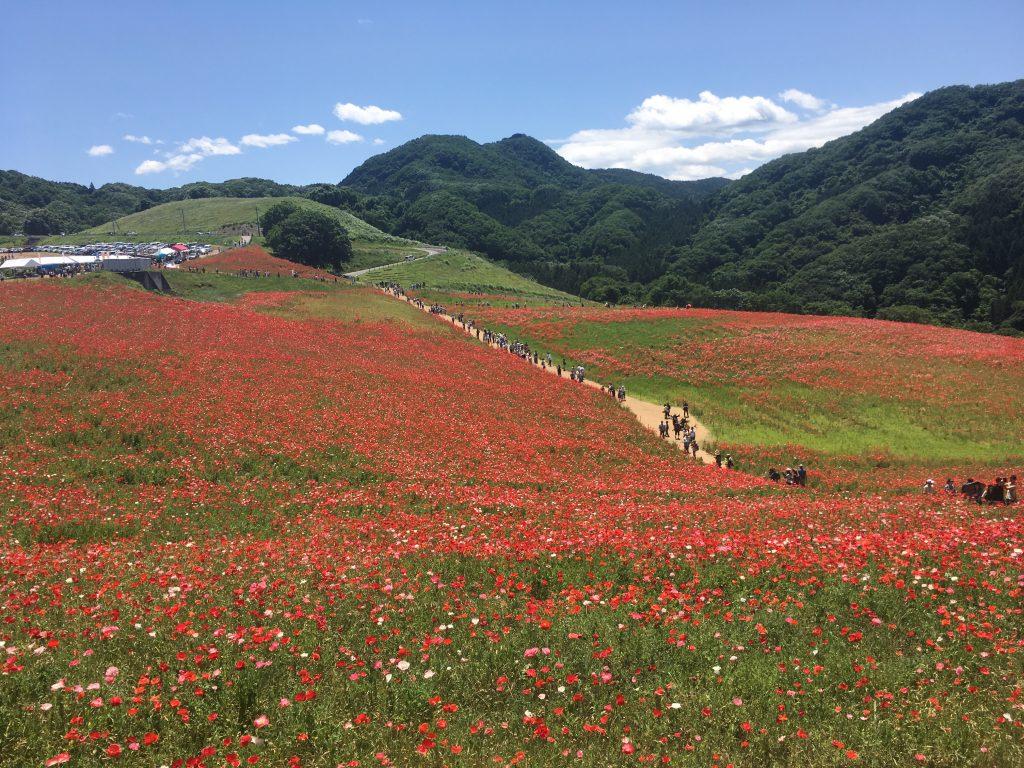 秩父高原牧場天空のポピー畑